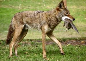 coyote_attack_on_squirrel_image_by_ocpetsocregistercom